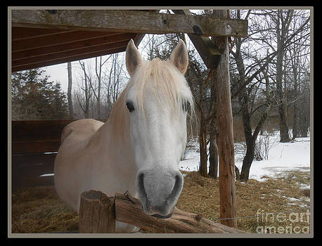 The Picture Perfect Paso Fino Stallion by Patricia Keller