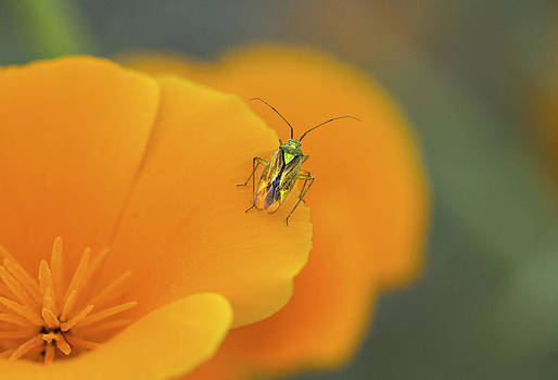 The Poppy and the Beetle by Tracy Thomas