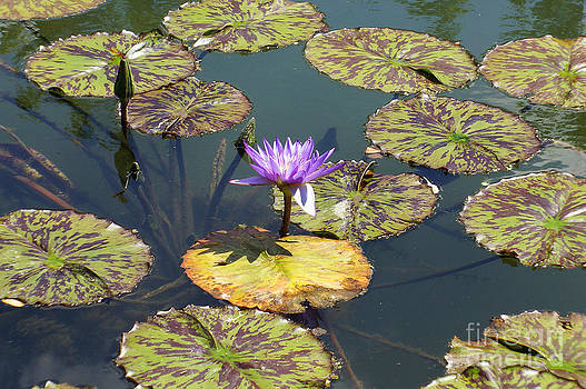 The Purple Water Lily With Lily Pads - Two by J Jaiam