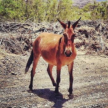 The Random Hobbled Mule #mule by Sarah Johanson