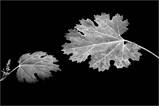 Nikolyn McDonald - The Reach - Grape Leaf Anemone - Leaves - Black Background