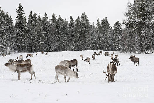 The reindeer of Santa Claus by Silvia Alcantara