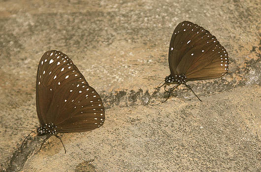 Venetia Featherstone-Witty - The Road Home Butterflies in Sepia