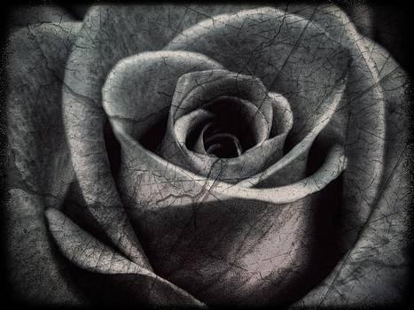 The Rose by Deborah Knolle