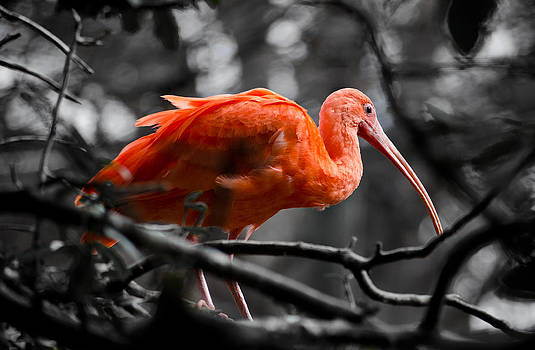 The Scarlet Ibis by Swift Family