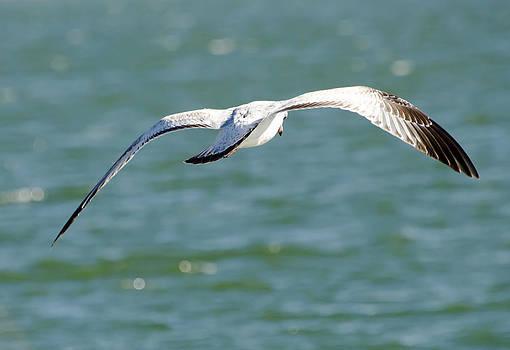 Lisa Moore - The Seagull