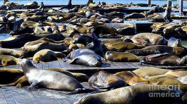 Pravine Chester - The seals of Pier 39