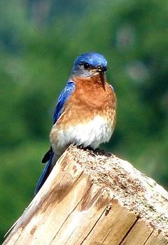Angela Davies - The Serendipitous Bluebird