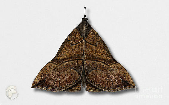 The Snout Hypena proboscidalis - La Noctuelle a museau - Bruine snuituil - Snudeugle - Neslenebbfly by Urft Valley Art