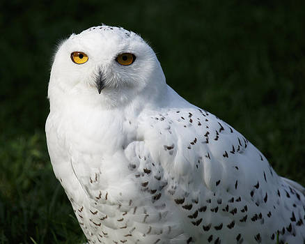 The Snowy Owl by Gerald Murray Photography