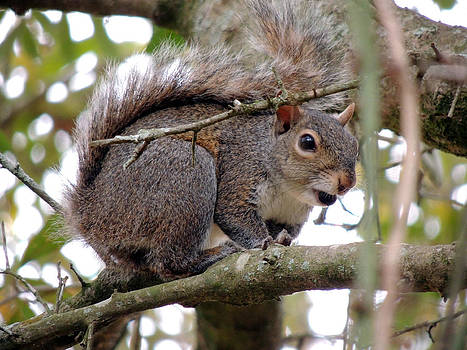 The Southeastern Gray Squirrel by Kim Pate