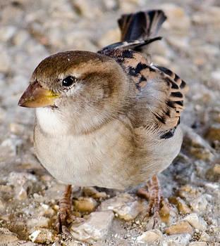 Alexandre Martins - The Sparrow