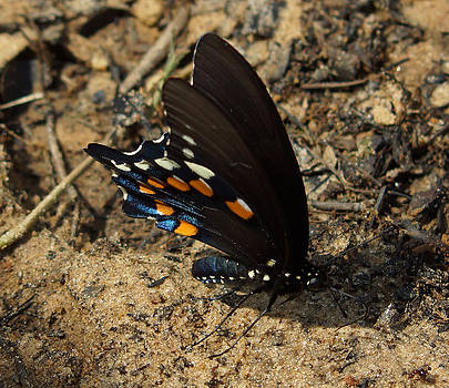 The Spicebush Swallowtail by Kim Pate