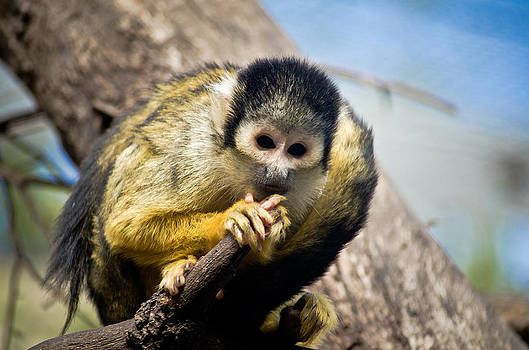 The Squirrel Monkey by Swift Family