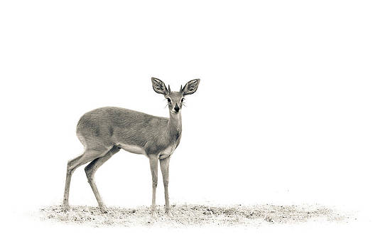 The Steenbok by Mario Moreno