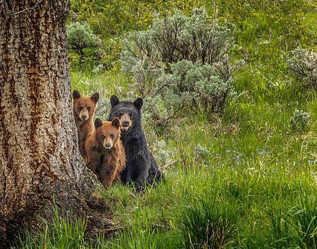 The Three Bears  by Mark Steven Perry