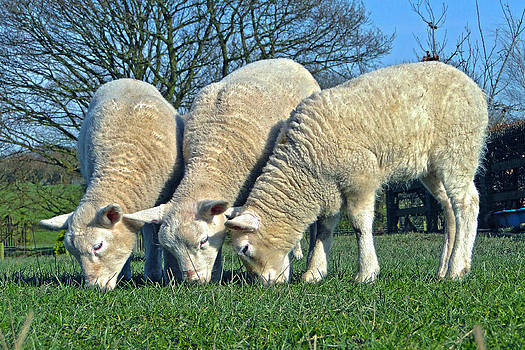 The Three Woolly Jumpers by Barrie Woodward