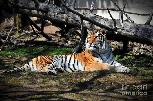 The Tiger by Jennifer Englehardt