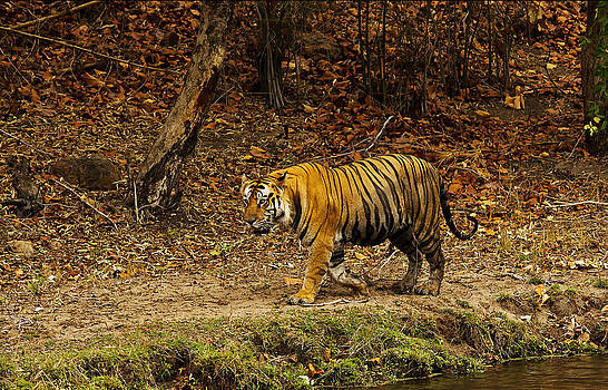 The Tiger by Swapnil Deshpande