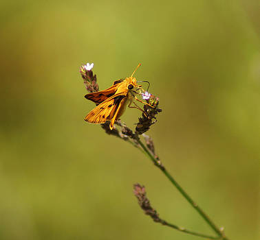 The Whirlabout Skipper butterfly by Kim Pate