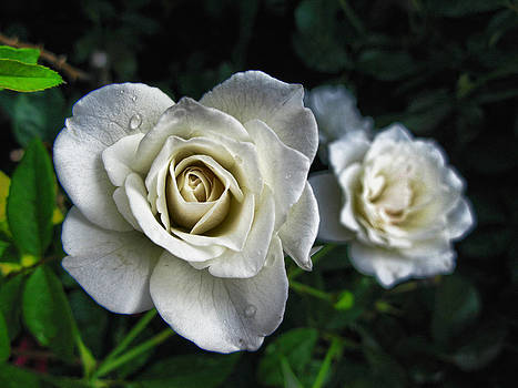 The White Rose by Oscar Alvarez Jr