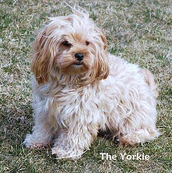 The Yorkie by Lisa  DiFruscio