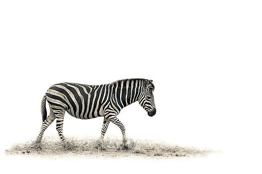 The Zebra by Mario Moreno