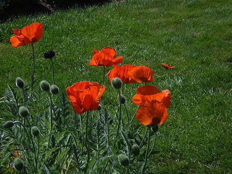 Think Summer - Poppy Flowers by Jessica Gale