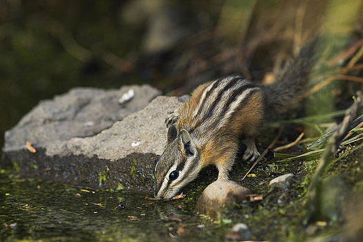 Thirsty Least Chipmunk by Doug Herr