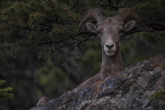 Paul W Sharpe Aka Wizard of Wonders - This is Alberta No.28 - Mountain Sheep Taking Cover