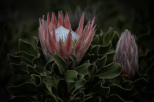 Paul W Sharpe Aka Wizard of Wonders - This is South Africa No.  2 - King Protea - Protea cynaroides