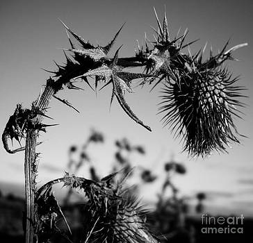 Thistle be The End by Malcolm Suttle