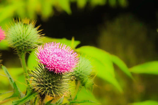 Thistle  by Catherine Davies