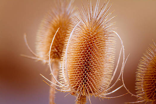 Thistle by Howard Weitzel