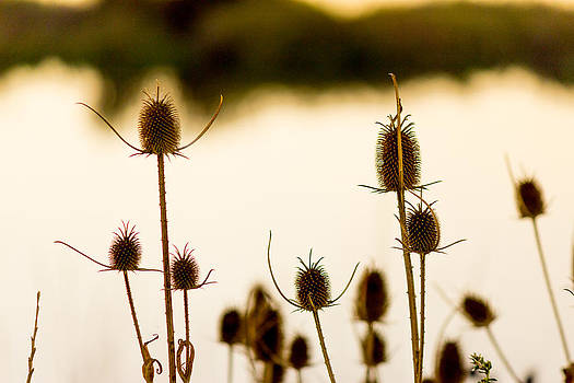Thistle seed pods against the water 1 by G Matthew Laughton