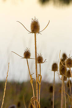 Thistle seed pods against the water 2 by G Matthew Laughton