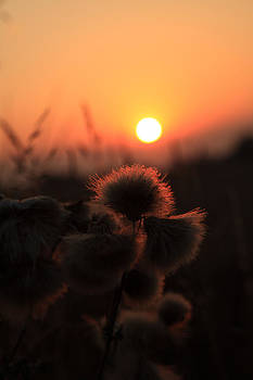 Thistles at Sunset by Paul Lilley