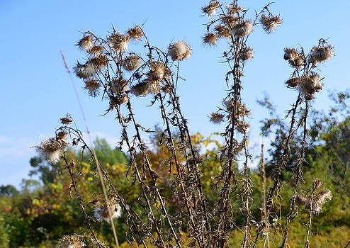 Linda Rae Cuthbertson - Thistles Going to Seed