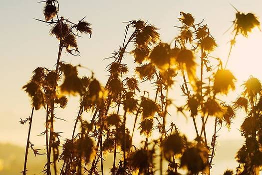 Thistles In The Sunset by Chevy Fleet