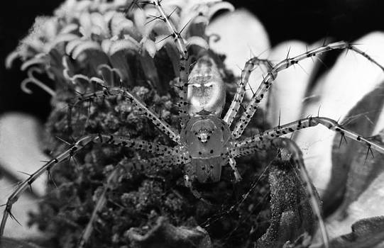 Thorny- Thorny- Spider On My Flower by Thomas D McManus