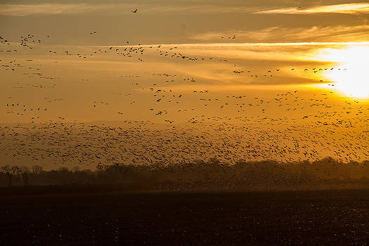 Thousands of Ducks Geese by Brian Williamson