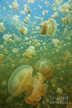 thousands of harmless Golden Jellyfish underwater photograph from Jellyfish Lake in Palau by Brandon Cole