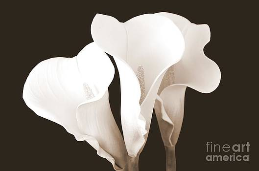 Mary Deal - Three Beautiful Calla Lilies in Sepia