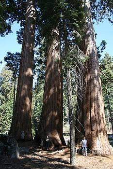 Three Boys for Three Redwoods by Rebecca Christine Cardenas
