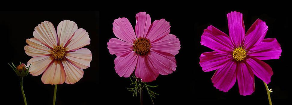 Three Cosmos blooms by Pete Hemington