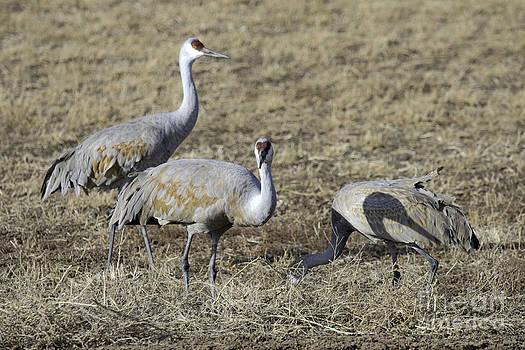 Tim Moore - Three Cranes