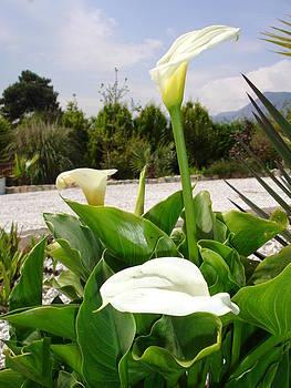 Tracey Harrington-Simpson - Three Cream Calla Lilies With Garden Background
