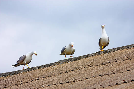 Three gulls by Borislav Marinic