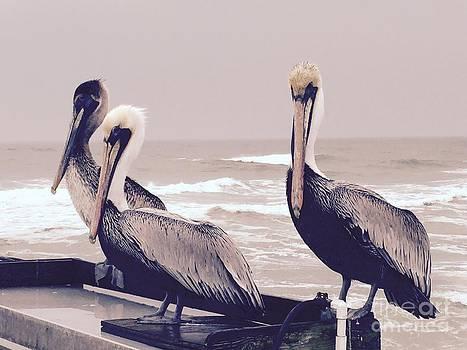 Nick Gustafson - Three Little Pelicans