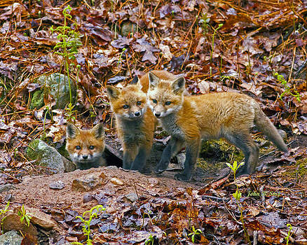 Three Little Red Fox Kits by John Stoj